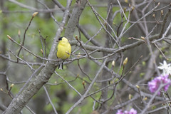 American Goldfinch (gdgolle3088) Tags: goldfinchj backyard bird woods yellowcolored spring smallbirds