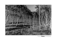 crooked but upright (Der Zeit die Augenblicke stehlen) Tags: bw bäume dars deutschland eos700d fischland hth56 landscape landschaft mecklemburgvorpommern ostsee sommer thomashesse bnw mono monochrom sw