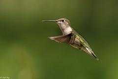 Colibri femelle / hummingbird (Roy Yves) Tags: yvesroy