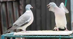 21 April 2017 (7) (AJ Yakstrangler) Tags: yakstrangler pigeon pigeons
