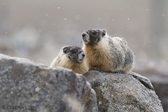 Yellow-bellied marmot (Gregory Lis) Tags: yellowbelliedmarmot marmotaflaviventris kamloops britishcolumbia gorylis gregorylis nikond810