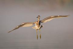 Incoming (gseloff) Tags: tricoloredheron bird flight bif landing water horsepenbayou pasadena texas kayakphotography gseloff