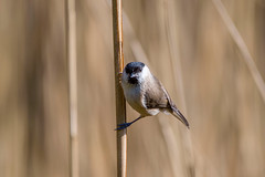 Marsh Tit......... (klythawk) Tags: marshtit poecilepalustris reeds sunlight nature spring wildlife smalltit brown beige grey black white nikon d500 sigma 150600mmc calkeabbey nationaltrust ticknall derbyshire klythawk