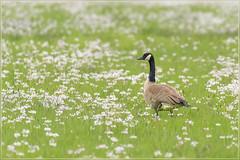 Canadeesje tussen de pinksterbloemen (jos.pannekoek) Tags: gans canadesegans lente nederland d500 200500 vogels dieren