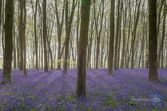 Morning rays on the blues (Clear Inner Vision) Tags: bluebells hampshire uk beech