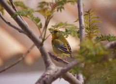 Spain (Bob Bain1) Tags: wildlife europeanwildlife europeanbirds spain mazarron murcia nature greenfinch camposola