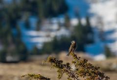 Accenteur mouchet (JeanJoachim) Tags: accenteurmouchet prunellamodularis dunnock hedgesparrow passeriformes prunellidae oiseau bird vogel aves uccello fågel fugl pássaro バード lintu птица ptak pentaxk5iis smcpentaxda300mmf4edifsdm heckenbraunelle