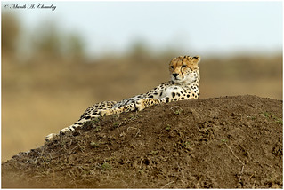 The Lone Cheetah!