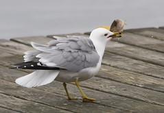 Ring-billed Gull with Fish (Gavin Edmondstone) Tags: larusdelawarensis ringbilledgull fish bronteharbour oakville ontario olympus300mmf40isproedmzuiko