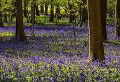 Bluebell Wood (Peter Quinn1) Tags: turville buckinghamshire bluebellwood bluebells woodland spring shadows light