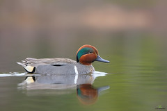 Green-winged teal - Sarcelle d'hiver - Anas crecca (Maxime Legare-Vezina) Tags: bird oiseau duck canard nature wildlife animal canon spring quebec canada