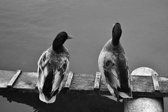 Chilling. (zetakr) Tags: ducks blackandwhite couple no people wild life animal close capture photography travel uk england nikon beautiful pretty moment summer destinations lake water plank wood feather duck throwback vacations holidays old sounds ocean weather rain drop drip