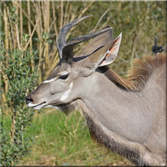 2017.03.16.033 PARIS -ZOO - Grand Koudou (alainmichot93 (Bonjour à tous - Hello everyone)) Tags: 2017 france îledefrance seine paris paris12èmearrondissement boisdevincennes parczoologiquedeparis zoodevincennes zoo animal mammifère antilope addax