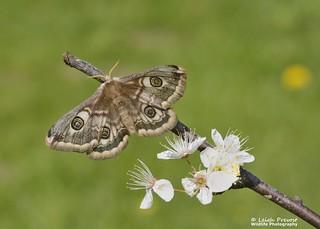 Emperor Moth, Saturnia pavonia