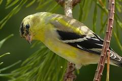 American Goldfinch male molting_20Mar2017 (Bob Vuxinic) Tags: americangoldfinch spinustristis male molting cumberlandplateau crossvilletn 20mar2017