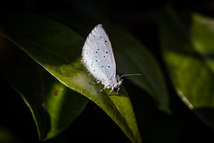 Holly Blue (Celastrina argiolus) (Captainchaoz) Tags: holly blue celastrina argiolus dursley gloucestershire