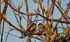 Sparrows Male & Female in springtime taken through the front room window (John Carson Essex UK) Tags: thegalaxy thegalaxystars rainbowofnature supersix