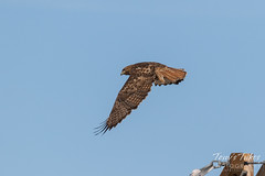 Red-tailed Hawk launch sequence - 4 of 15