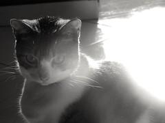 Zuri! (afr.trujillo) Tags: gata cat blackaindwhite blackandwhite graycat whitecat