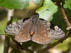 Propertius Duskywing (Erynnis propertius) butterfly (Treebeard) Tags: female genitalia propertiusduskywing erynnispropertius butterfly coastliveoak quercusagrifolia fagaceae sanmarcospass santabarbaracounty california