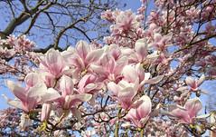 Danse autour du magnolia 13/22 (Emmanuel Cattier -) Tags: magnolia fleur plante tree fleursetplantes flower flowering arbre arbreenfleur france strasbourg alsace grandest floraison lumière printemps cattier emmanuelcattier manusoft