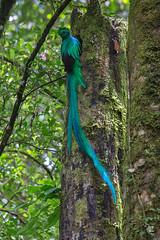Quetzal - Pharomachrus mocinno (Jorge De Silva R) Tags: chiapasmexico jorgesilva reserva de la biosfera el triunfo nature legado verde quetzal pharomachrus mocinno