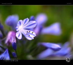 Blue (tomraven) Tags: flowermacro flowers macro manual blue bokeh light focus tomraven aravenimage q22017 nokton lumix gx8