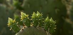 Prickly Pear Flower Buds_MG_0027 (918monty) Tags: pricklypear opuntia indianfigopuntia culinary tunafruit sabra nopal nopales nostle nochtli cactus cactaceae spines cactusflowerbuds