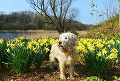 Doggy in the daffs. (carolinejohnston2) Tags: daffodils spring flowers lake dog wheatie ireland fermanagh crom plants garden erne lough landscape animal