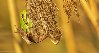 raganella, treefrog...
