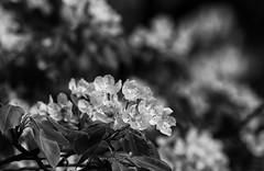 Progression (AnyMotion) Tags: pear birne blossom blüte leaves blätter bokeh 2017 plant pflanze anymotion nature natur frankfurt 7d2 canoneos7dmarkii bw blackandwhite sw spring frühling primavera printemps