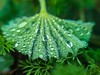 Rain on Lady's Mantle (wnkremer1) Tags: alchemillamollis ladysmantle foliage green