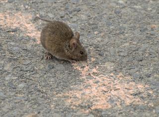 Baby rat I
