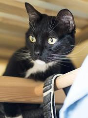 Rocky (lauriepetsitterparis) Tags: chat cute mignon miaou petsitter catsitter cat minou