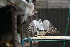 21 April 2017 (29) (AJ Yakstrangler) Tags: yakstrangler pigeon pigeons