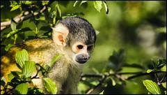 _SG_2017_04_5002_IMG_2535 (_SG_) Tags: basle basel bale schweiz switzerland suisse zoo zoli baslerzoo baslerzooli zooli tiere animals tier baslerzoli zoobasel affe affen ape totenkopfaffe totenkopfäffchen saimiri squirrel monkey squirrelmonkey tupi