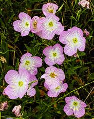 Pink Evening Primrose (wyojones) Tags: texas hempstead liendoparkway wallercounty wildflowers blooms spring pinkeveningprimrose oenotheraspeciosa showyeveningprimrose mexicaneveningprimrose showyprimrose pinkladies pinkbuttercups native
