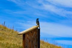 piece of blue sky (czarmeg) Tags: bluebird castlerock birdhouse bird spring outdoors bluesky