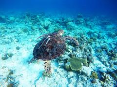 Swimming around with a gorgeous turtle (Landersz) Tags: philippines filippine coron palawan club paradise snorkeling turtle shark clownfish nemo dugong landersz canon 5dmk3 nimar gopro hero5