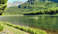 Waterscape with a Moose (Suzanham) Tags: wildlife feedingmoose woods glaciernationalpark montana moose waterscape mountains lake animal nature water forest trees outside scenery antlers scenic mountainous deer deerlike northamerica unitedstates
