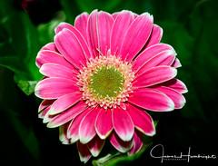 Pink Gerber Daisy (jhambright52) Tags: macro flower pinkgerberdaisy doublefantasy coth5