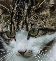 Cats Eyes (LindaShaws Images) Tags: cat eyes staring animal pet watching whiskers ears nose