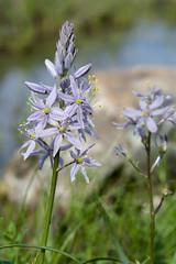 Camassia scilloides (Eric Hunt.) Tags: atlanticcamas blue bulb camassia camassiascilloides flower fragrant geophyte glade shalebarren littlerock arkansas