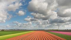 Tulip fields Netherlands ... (Alex Verweij) Tags: tulips tulp tulip color almere alex verweij canon 28mm kleur bollen