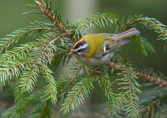firecrest (ianwoodthompson) Tags: firecrest buckingshire bird woodland