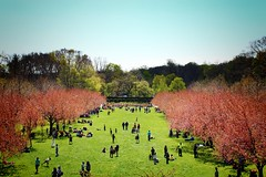 Brooklyn Gardens Cherry Blossom Lawn (paleyphotos) Tags: brooklyn nyc ny newyork new york city gardens botanic green pink flowers cityscape landscape nature lawn cherry blossoms spring bloom