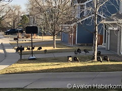 April 13, 2017 - Turkeys roam the suburbs in north Thornton. (Avalon Haberkorn)
