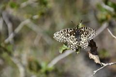 Zerynthia rumina (esta_ahi) Tags: ordal zerynthia rumina zerynthiarumina mariposa papallona butterfly papilionidae lepidoptera insectos fauna penedès barcelona spain españa испания