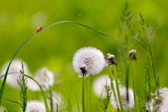(Alin B.) Tags: alinbrotea nature spring april dandelion ladybug ladybird green soft puffy grass