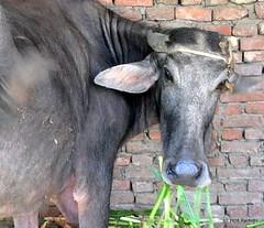 DSC_0864 (rachidH) Tags: cattle gamous buffalo waterbuffalo bubalus bubalusbubalis buffle saqqara dahshour memphis egypt rachidh nature